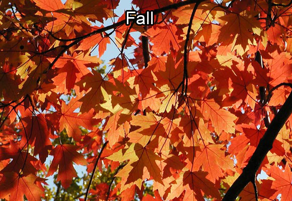 Photo of the reddish fall leaves of a maple