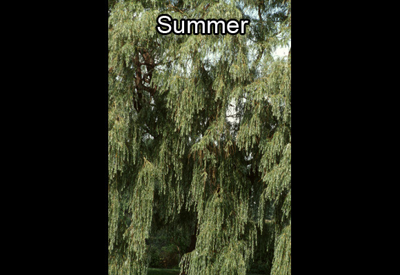 Photo of the downward leaves of a willow in the Arboretum of the Jardin botanique de Montréal, in summer