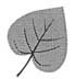 Drawing of a cordate leaf