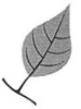 Drawing of a leaf with very long leaf tip