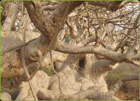 Photo of a baobab without leaves