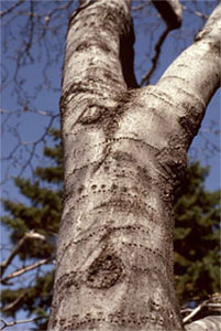 Tree with visible signs of damages (observable sign) caused by wildlife, in this case by a woodpecker (stress factor)