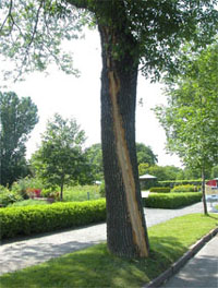Tree with a gash in the wood (observable sign) caused by a mechanical injury (stress factor)