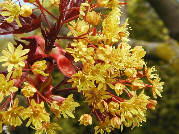 Photo of a Norway maple�s flowers