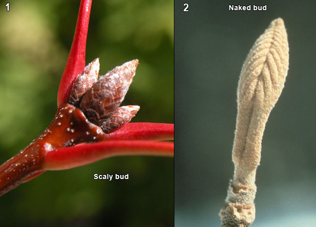 Photomontage of the scaly buds of a red oak (Quercus rubra) and the naked bud of a sweet viburnum (Viburnum lentago)