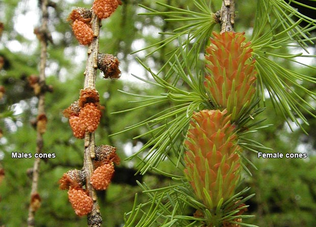 Photo of small beige male cones, highlighted, and of big red female cones, highlighted, of a tamarack (Larix laricina)
