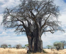 Photo of a baobab tree (Adansonia digitata) without leaves