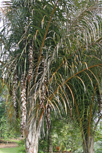 Phtoo of a Raffia palm (Raphia farinifera)