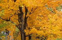 Photo of a sugar maple (Acer saccharum) with orange leaves