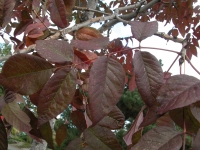 Photo of the purple leaves of an American ash, Fraxinus pennsylvanica