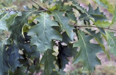 Photo of red oak (Quercus rubra) leaves