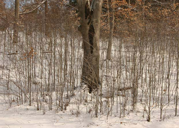 Photo of an American beech (Fagus grandifolia) surrounded by many suckers