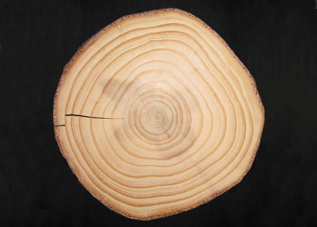 Photo of the trunk cutting of a tree clearly showing the annual tree rings