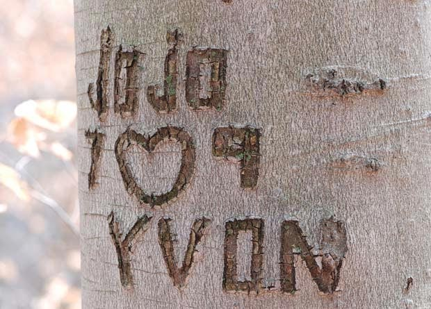 Photo of an American beech (Fagus grandifolia) with a graffiti carved into its bark