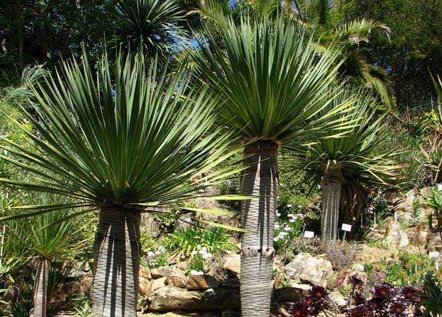 Photo of arborescent Yuccas (Yucca sp.)
