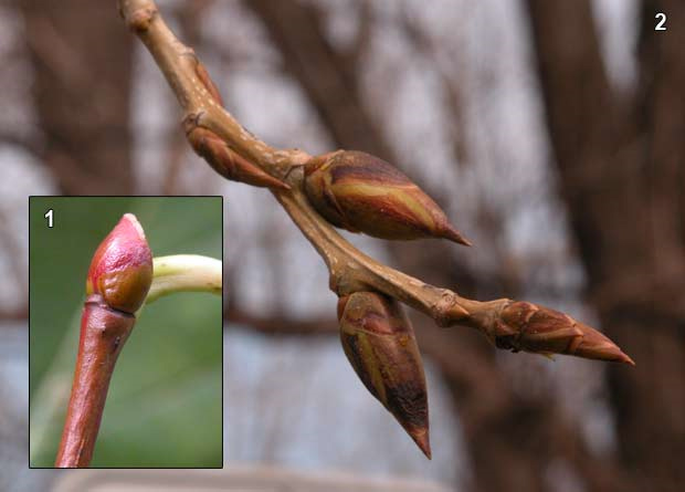 Photomontage of the round bud of an American linden (Tilia americana) and the pointed buds of an Eastern cottonwood (Populus deltoides)