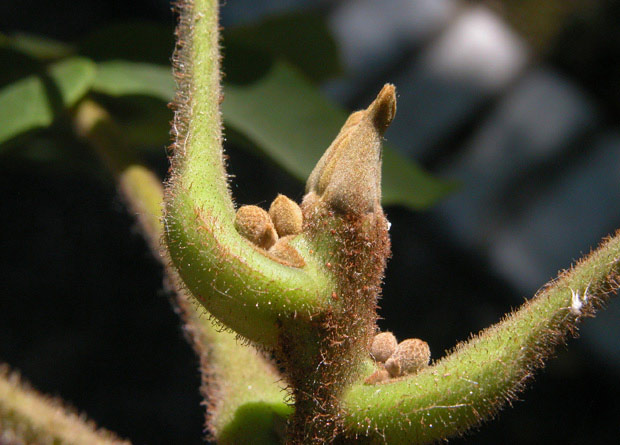 Photo d'un bourgeon duveteux de noyer cendré (Juglans cinerea)