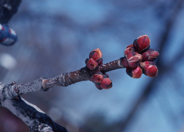 Photo of the twig of a red maple (Acer rubrum) with two clusters of reddish cluster buds