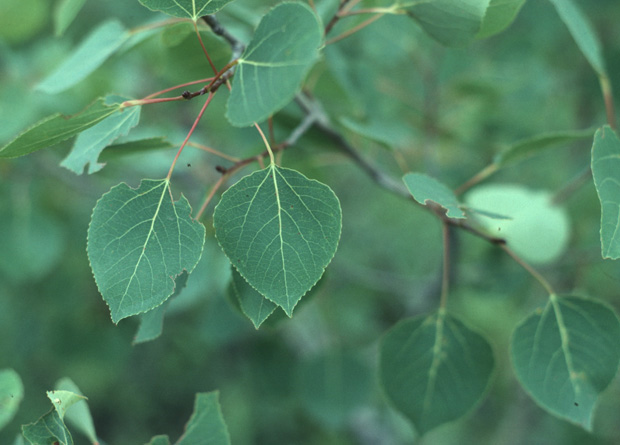 Photo of leaves with flat petioles of a quaking aspen (Populus tremuloides)