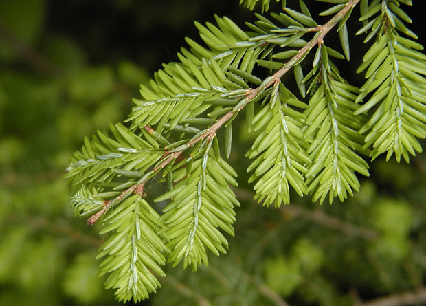 Photo of a branch and needles of an Eastern hemlock (Tsuga canadensis)