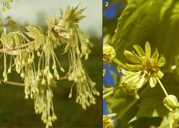 Photomontage of flowers without petals of a sugar maple (Acer saccharum) and of a flower with petals of a Norway maple (Acer platanoides)