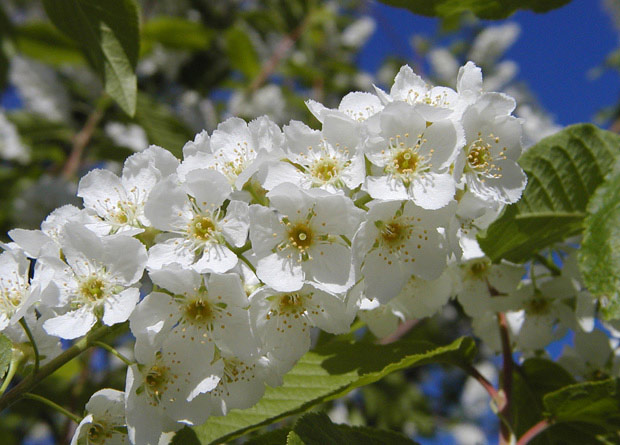 Photo of many perfect flowers, or hermaphrodite, of a bird cherry (Prunus padus)
