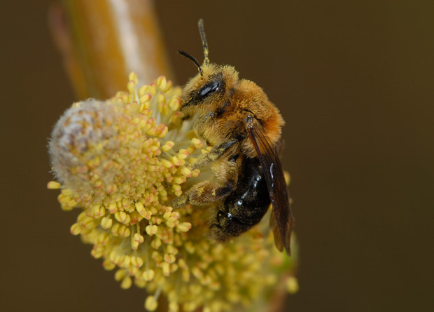 Photo of a bee (Andrena dunningi) pollinating a willow flower (Salix sp.)