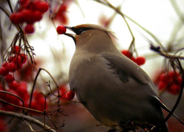 Photo of a Bohemian waxwing (Bombycilla garrulus) with a tree fruit in its bill