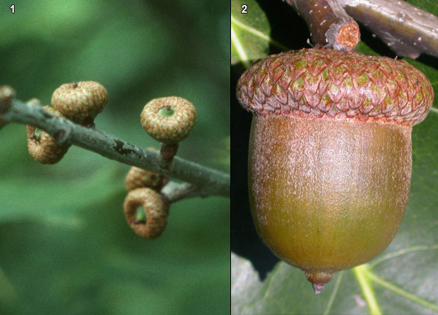 Photomontage of red oak (Quercus rubra) acorns, some small and young and one big and mature