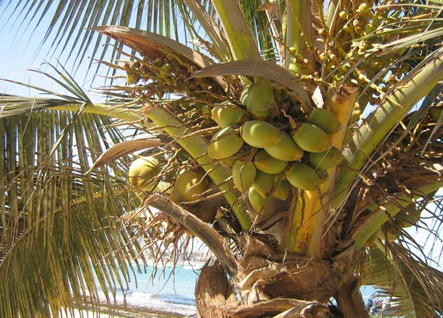 Photo showing viviparity: the coconuts of a coconut tree (Cocos nucifera) are germinating while still attached to the mother tree.