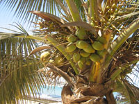 Photo of a coconut palm, Cocos nucifera
