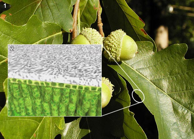 Photomontage showing the leaf of a swamp white oak (Quercus bicolor) and a drawing of a leaf transverse cut showing the cuticle
