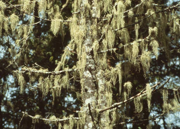 Photo of lichen hanging on the branches of a fir (Abies sp.)