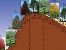 Toposequence drawing of a hickory-sugar maple forest