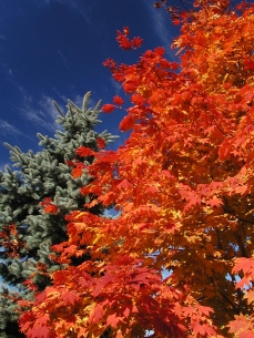 Photo of a Siebold maple in autumn