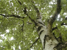 Photo of the trunk and leaves of a paper birch