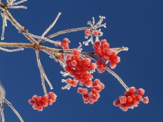 Photo of red fruits from a Sargent viburnum, in winter