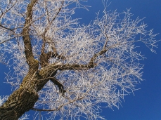 Photo of a white willow covered by frost.