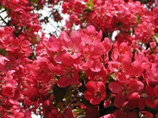 Photo of a flowering crab-tree, in spring