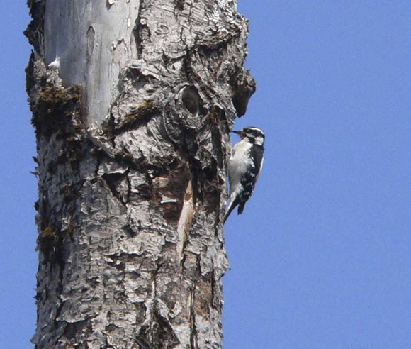 Photo of a Downy Woodpecker on a tree trunk