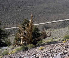 Photo of a Bristlecone pine (Pinus longaeva) growing in an arid environment