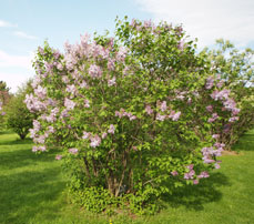 Photo of a lilac plant (Syringa sp.)