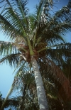 Photo of a coconut palm (Cocos nucifera)