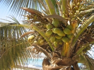Photo of coconut (Cocos nucifera)