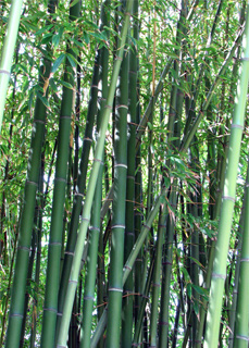 Photo of bamboo (Dendrocalamus strictus)