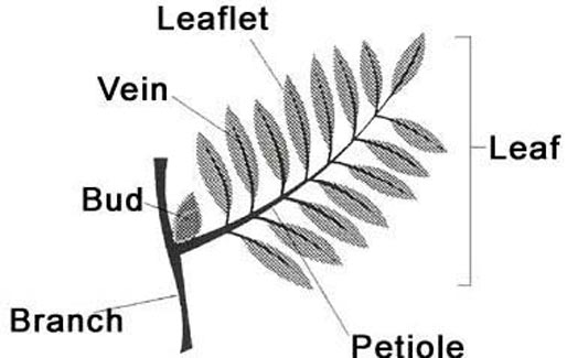 Drawing of a compound leaf with its parts