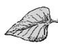 Drawing of a smaller leaf