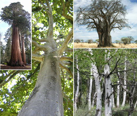 Photomontage of trees with different trunk sizes